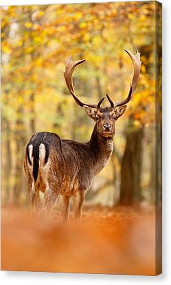 King Of The Forest II _ Fallow Deer Buck Canvas Print by Roeselien Raimond