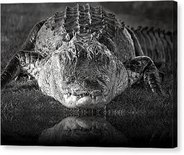 Beauty Mark Canvas Print - King Of The Glades by Mark Andrew Thomas