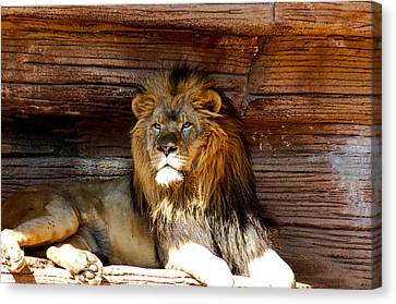 King Of The Jungle Canvas Print by Linda Brown