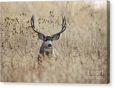 King Of The Marsh Canvas Print