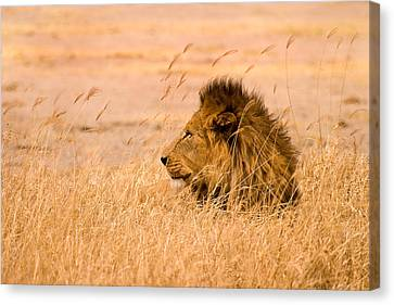 Lion Canvas Print - King Of The Pride by Adam Romanowicz