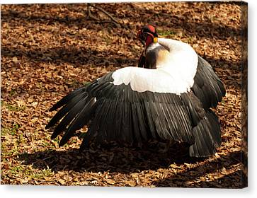 King Vulture 2 Strutting Canvas Print by Chris Flees