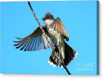 Kingbird Landing Canvas Print