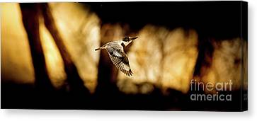 Kingfisher In Flight Canvas Print by Robert Frederick