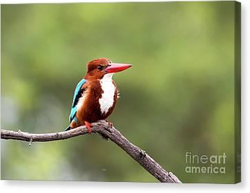 Kingfisher On A Limb Canvas Print
