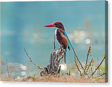 Kingfisher On A Stump Canvas Print by Pravine Chester