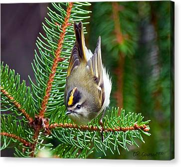 Kinglet In The Pine II Canvas Print