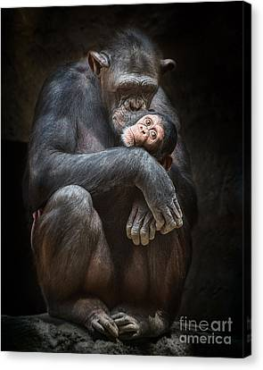 Chimpanzee Canvas Print - Kiss From Mom by Jamie Pham