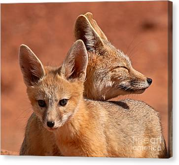 Fox Kit Canvas Print - Kit Fox Pup Snuggling With Mother by Max Allen