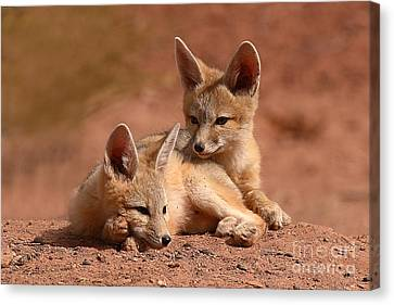Kit Fox Pups On A Lazy Day Canvas Print by Max Allen