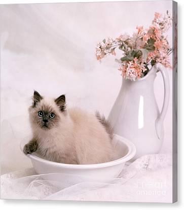 Kitten Bath Canvas Print by Crystal Garner
