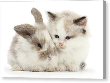 Kitten Cute Canvas Print