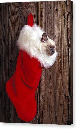 Kitten In Stocking Canvas Print