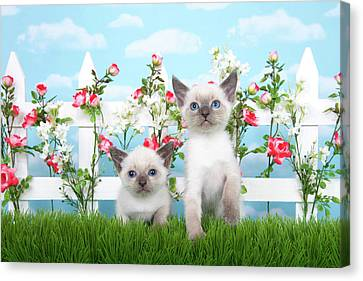 Litter Mates Canvas Print - Kitten Siamese Sisters by Sheila Fitzgerald