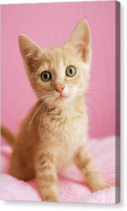 Kitten Standing On Pink Blanket Canvas Print