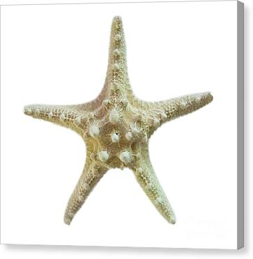 Knobby Starfish Canvas Print by Judy Hall-Folde