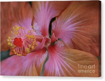 Ko Aloha Aloalo Echoes Of The Soul Exotic Tropical Hibiscus Kula Maui Hawaii Canvas Print by Sharon Mau