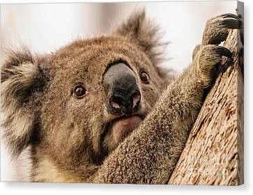 Koala 3 Canvas Print by Werner Padarin