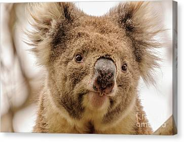 Koala 4 Canvas Print by Werner Padarin