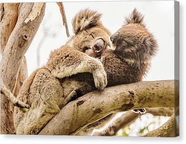 Koala 5 Canvas Print by Werner Padarin