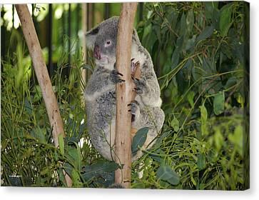 Koala Bear 1 Canvas Print by Gary Crockett