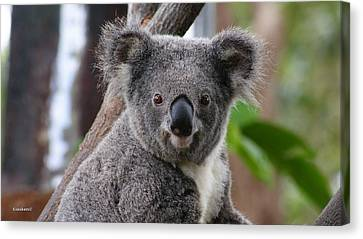 Koala Bear 7 Canvas Print by Gary Crockett