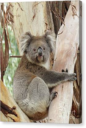 Koala Bear Canvas Print by Phil Banks