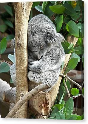 Koala Canvas Print by Carol  Bradley