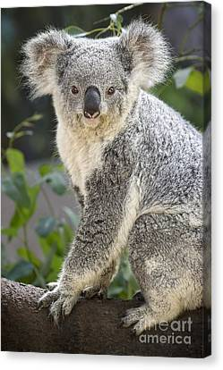 Koala Female Portrait Canvas Print