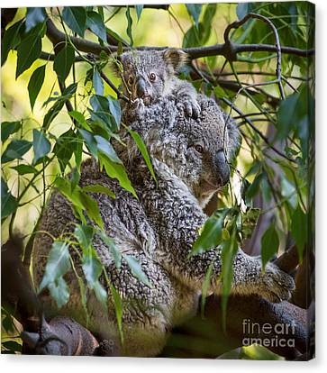 Koala Joey Canvas Print