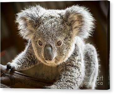 Koala Kid Canvas Print