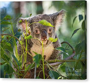 Koala Leaves Canvas Print