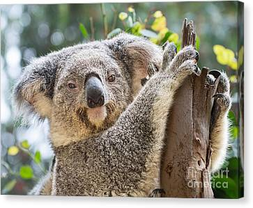 Koala On Tree Canvas Print