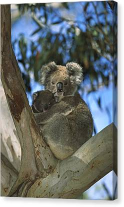 Koala Phascolarctos Cinereus Mother Canvas Print
