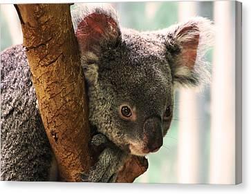 Koala Portrait Canvas Print by Brian M Lumley