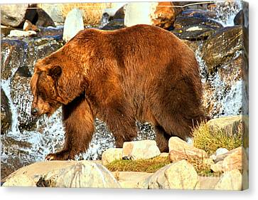 Kodiak At The Falls Canvas Print