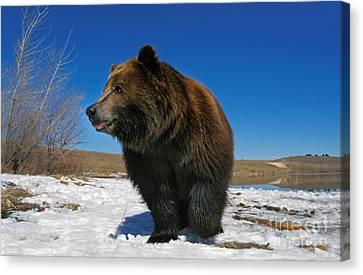 Kodiak Bear Ursus Arctos Middendorffi Canvas Print