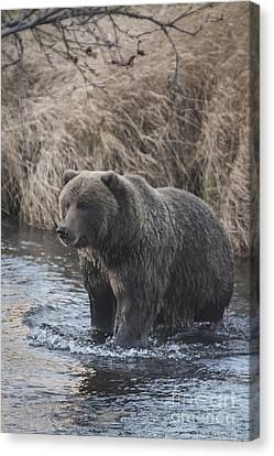 Kodiak Brown Bear Canvas Print