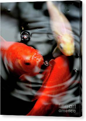 Koi Fish . 7d5483 Canvas Print by Wingsdomain Art and Photography