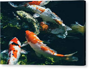 Koi Fish In Water Canvas Print by Pati Photography