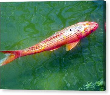 Koi Fish Canvas Print by Joseph Frank Baraba