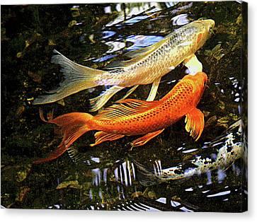 Koi Fish Swim In Synch Canvas Print