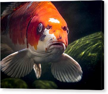Koi Head Shot Canvas Print by Jean Noren