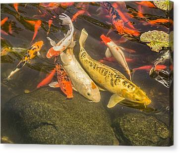 Fish Pond Canvas Print - Koi Pond by Thomas Young