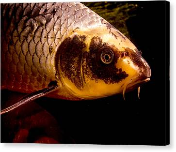 Koi Profile Canvas Print by Jean Noren