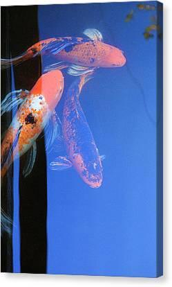 Canvas Print - Koi Vi  Blue by Ron Morecraft