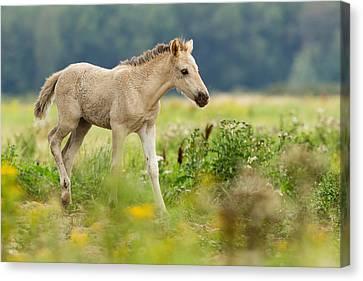 Konik Horse Foal Running Through A Grass Field Canvas Print by Roeselien Raimond