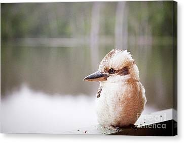 Canvas Print featuring the photograph Kookaburra by Ivy Ho