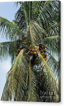 Canvas Print - Kooky For Coconuts by Sabrina L Ryan