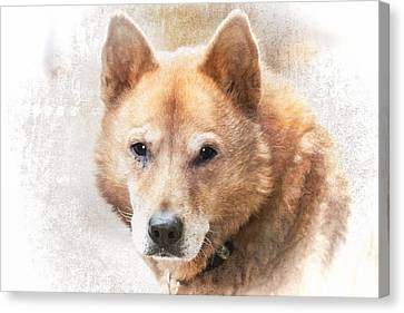 Korean Jindo Portrait Canvas Print